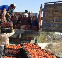 حذف دلالان با خرید حمایتی از گوجه کاران در غرب هرمزگان