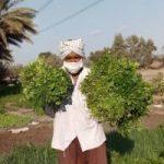 پیچیدن بوی معطر سبزی در دشت های وسیع هرمزگان+تصاویر
